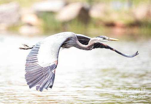Great Blue Heron in Flight by Paul Frederiksen