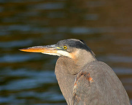 Great Blue Heron-In the Light by Bob and Jan Shriner