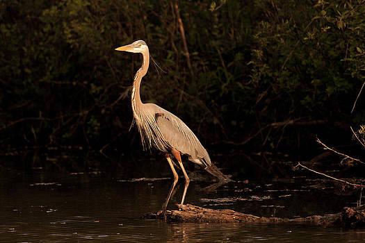 Jack R Perry - Great Blue Heron