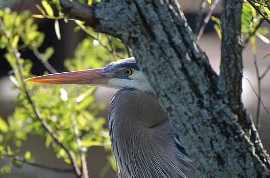 Great Blue Heron by Jodi Terracina