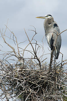 Great Blue Heron Nest with New Chicks by Jane Axman