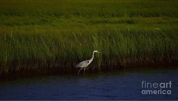 Great blue heron by Paul Deforrest