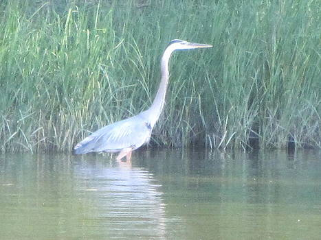 Great Blue Heron Reflecting by Debbie Nester