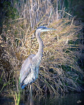 Great Blue Heron by Troy Cherry