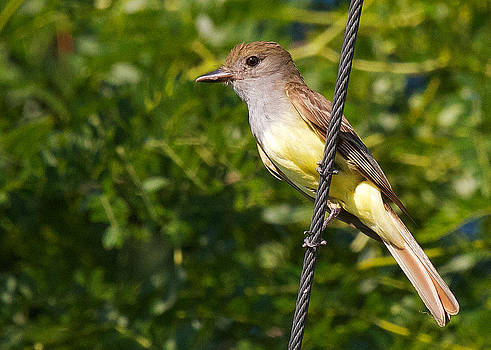 Great Crested Flycatcher by Diane Porter