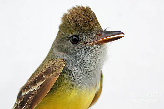 Great-Crested Flycatcher Portrait by Deanna Wright