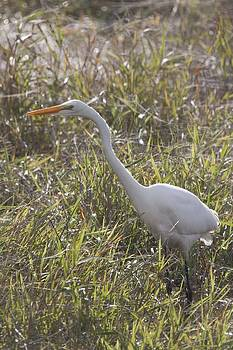 S and S Photo - Great Egret - 0002