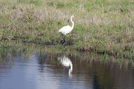S and S Photo - Great Egret - 0007