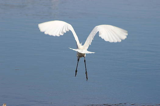 Great Egret complex wings by Mark Perez