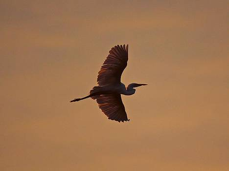 Great Egret Flight at Dawn by John Dart