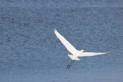 Great Egret Flying by Mark Perez