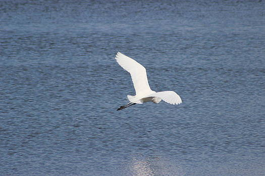 Great Egret Flying Profile by Mark Perez