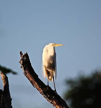 Great Egret in Tree by John Dart