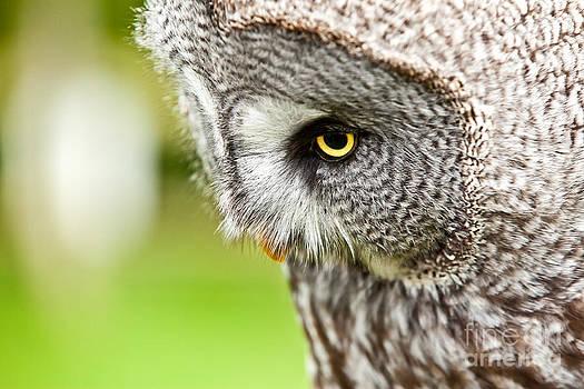 Simon Bratt Photography LRPS - Great Gray Owl close up