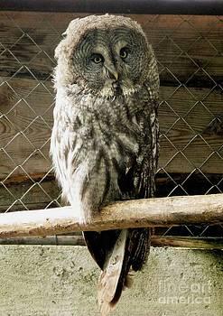 Great Grey Owl by Ausra Huntington nee Paulauskaite