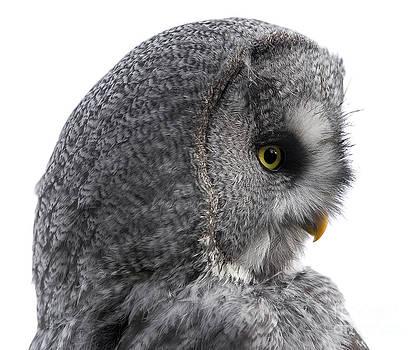 Linda Wright - Great Grey Owl