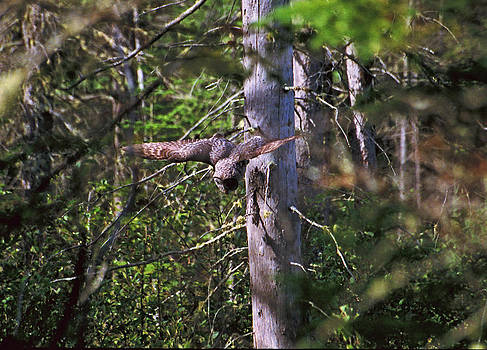 Great Grey Owl Pounces  by David Porteus