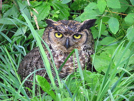 Great Horned Owl by June Lambertson