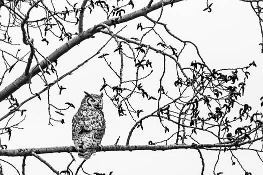 Great Horned Owl by Maik Tondeur