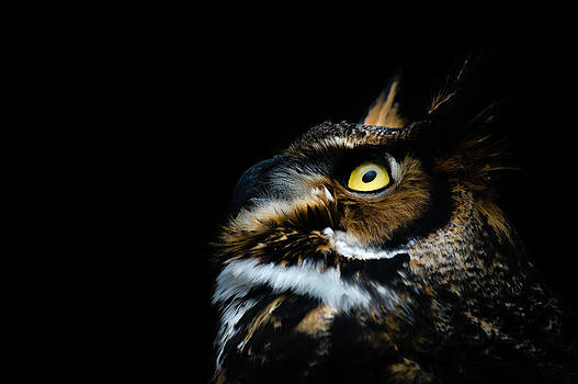 Great Horned Owl by Tracy Munson