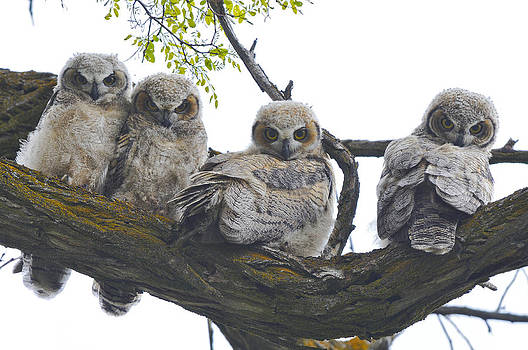 Great Horned Owlets by David Marr