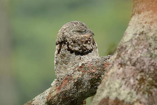Great Potoo by Dr. Gilbert S. Grant