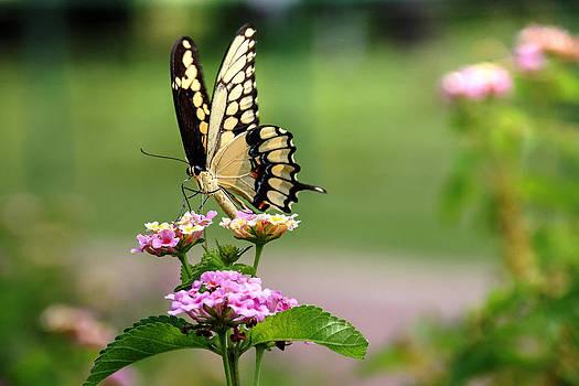 Great Swallowtail Butterfly by Lorri Crossno