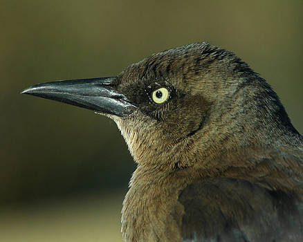 Great-tailed Grackle-female by Bob and Jan Shriner