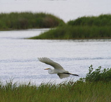 Great White Egret 22 by Cathy Lindsey