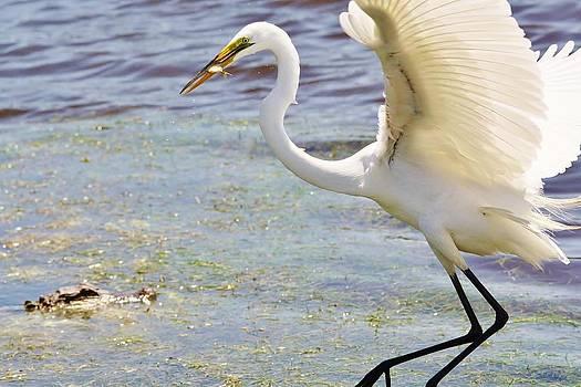 Paulette Thomas - Great White Egret avoiding a Gator