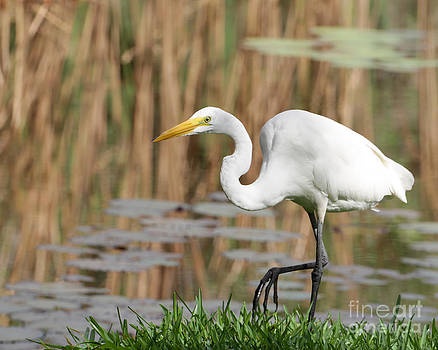 Sabrina L Ryan - Great White Egret by the River Too