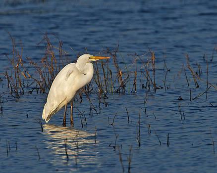 Great White Egret by Paul Scoullar
