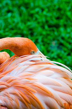 Greater Flamingo close up on green grass background by Jirawat Cheepsumol