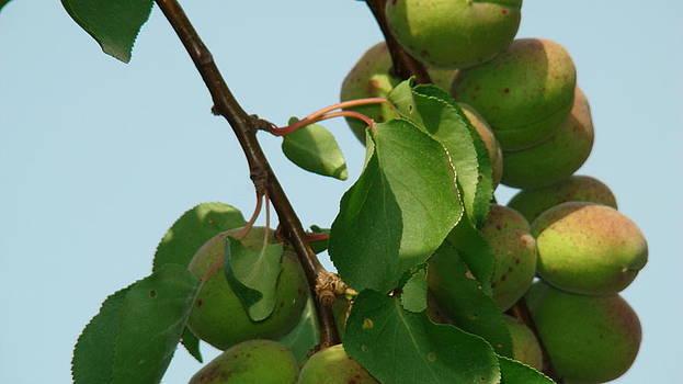 Green Apricots by Ionut Salavastru