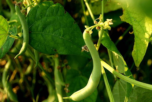 Green Bean by Michelle Cawthon