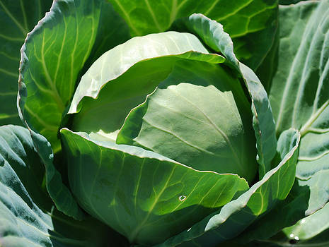 Green Cabbage by Steve Masley