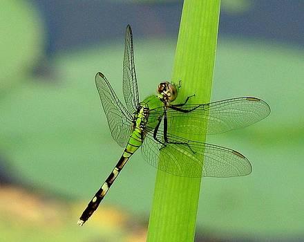 Rosanne Jordan - Green Darter Dragonfly
