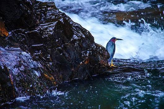 Green Heron Blue during Mating by Lori Miller