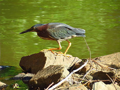 Green Heron hunting for food by Teresa Cox