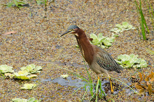 Green Heron Portrait by Brian Manley