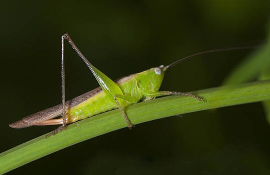 Green Hoppers by Naushad  Waheed