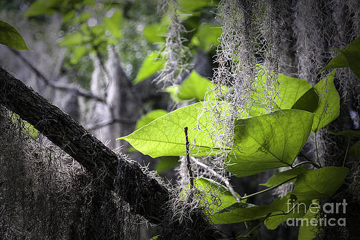 Lynn Palmer - Green Leaves and Spanish Moss
