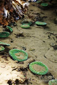 Charmian Vistaunet - Green Sea Anemones in Tidepool