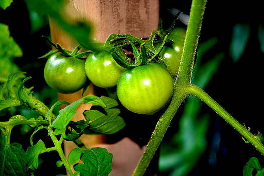Green Tomatoes by Kevin Perandis