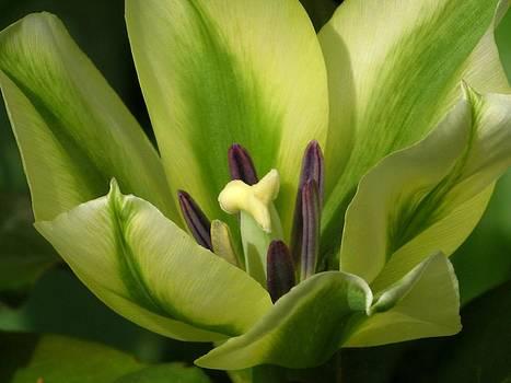 Alfred Ng - green tulip