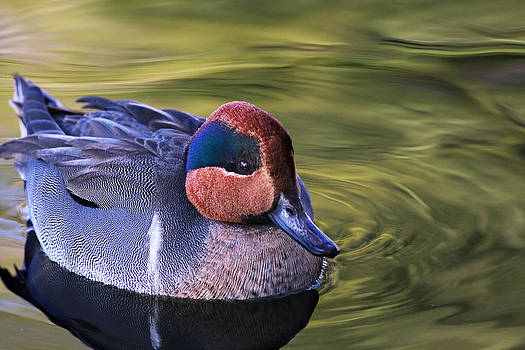 Green-winged Teal Duck by Abram House