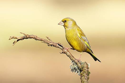 Greenfinch by Grant Glendinning