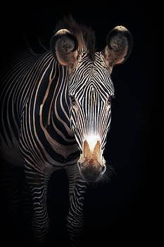 Grevy's Zebra by Mario Moreno