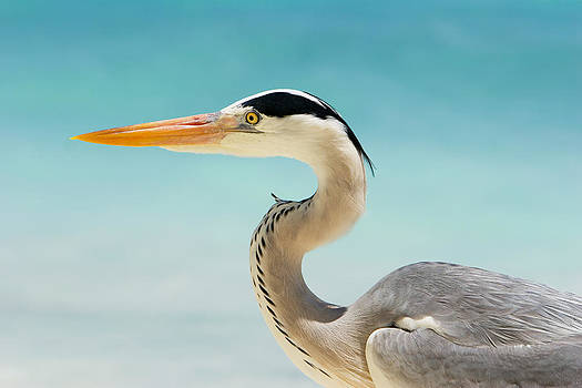 Grey Heron Nature Capture by Marco Neumann