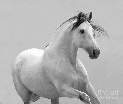 Grey Spanish Stallion Runs by Carol Walker